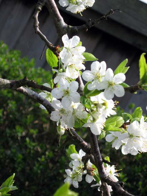 Blommetræ i blomst
